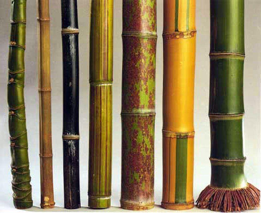 Tipos de Bambú